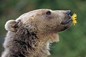 Bear Dandelion