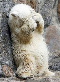 Sheepish-Polar-Bear